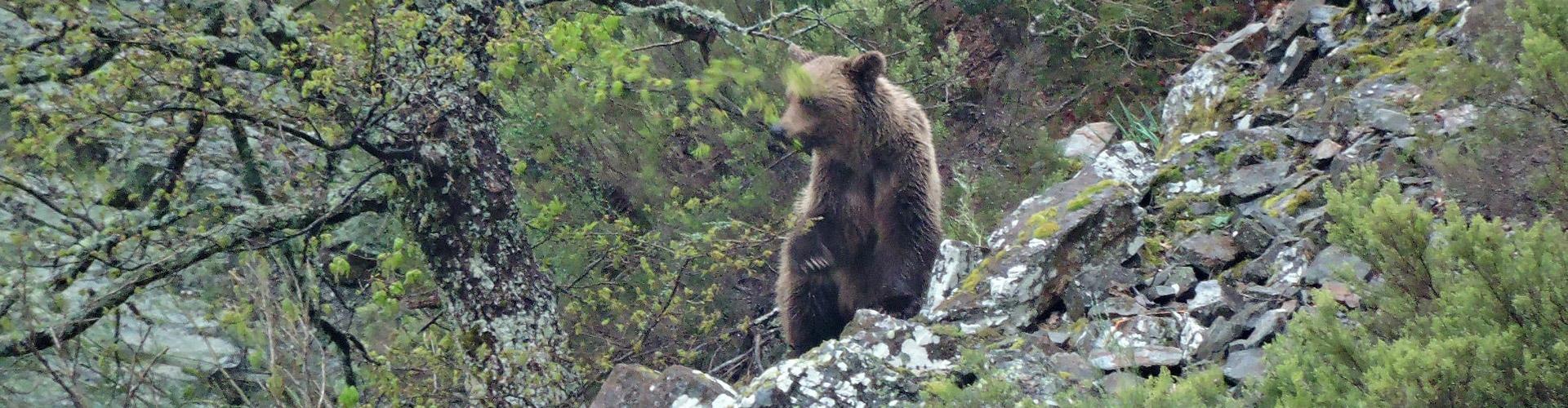 oso-pardo-reserva-muniellos-asturias